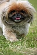extraordinarily beautiful Pekingese Dog