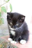 charming black and white kitten