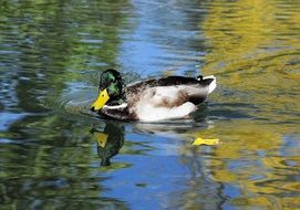 Wild duck in pond