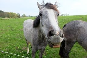 gray horse with large nostrils