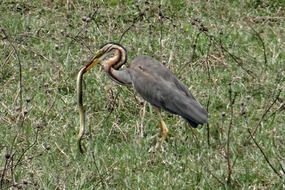 purple heron with its prey