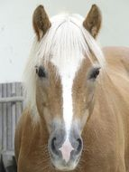 brown with a white stripe, the horse's face