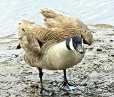 beautiful goose on the shore of a pond in Canada