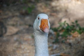 Goose White Bird Domestic Goose