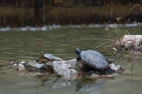 two Turtles on stone in Pond