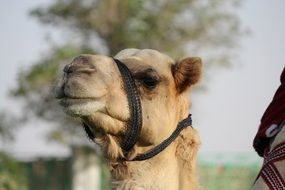Camel head with bridle
