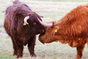 Scottish long-haired bulls