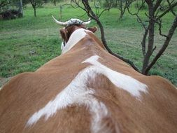 spine of a farm cow
