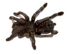 black tarantula on white background