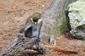 cute white-nosed monkey