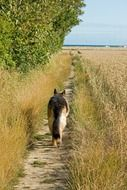 German shepherd walks along a path near the field