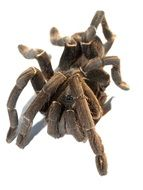 brown tarantula on white background