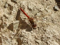 Red Dragonfly Insect closeup