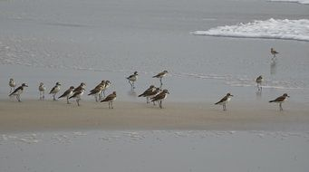 lesser sand plovers in india