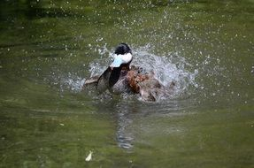 duck splashing in water