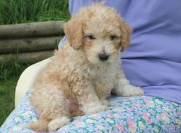adorable young poodle