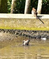 sparrows in a puddle