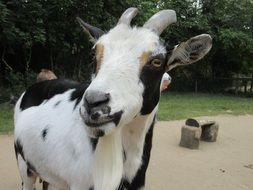black and white goat in a zoo