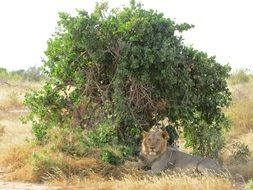 lion lies in the shade under a tree in Africa