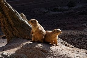 gophers on a stone