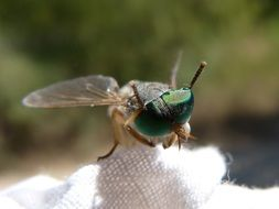 Horsefly with green Compound Eyes, macro