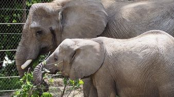 young and mature Elephants feeding in Zoo