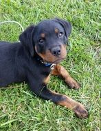young rottweiler outdoor