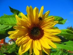 Sunflower Bright Yellow