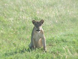 Lion Cub sits on green grass