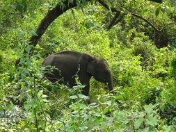 elephant among green thickets