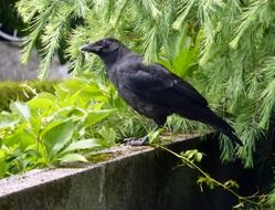perched carrion crow