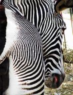 striped zebra rear view