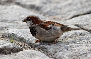 foraging tiny sparrow