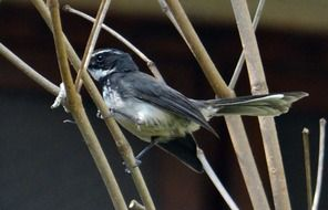perched white-throated fantail flycatcher