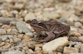 brown frog on small stones