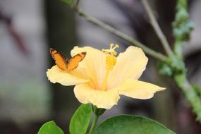 orange Butterfly on yellow hibiscus Flower