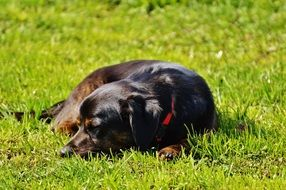 dog lying on the grass in the sun
