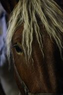 horse head with mane close up