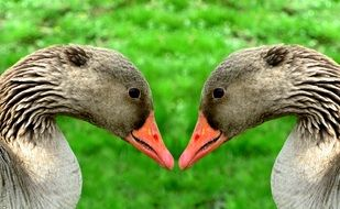portrait of a greylag goose