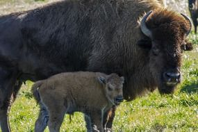 female buffalo with young on farm