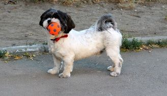 black and white dog playing with a ball