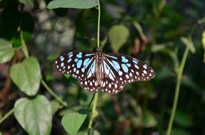 exotic blue tiger butterfly