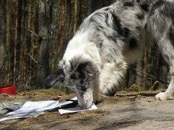 blue merle collie outdoor