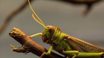 green grasshopper on a branch