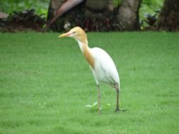 cattle egret on a green lawn in India