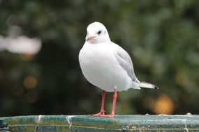standing white seagull