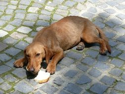 Dachshund eating a roll on the pavement