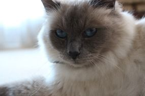 Birman Cat with Blue Eyes, portrait
