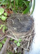 nest of blackbirds