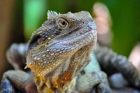 Eastern Water Dragon, head of Lizard close up
